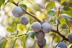 Ameixas na árvore Foto de Stock