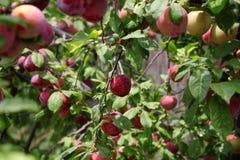 Ameixas na árvore Imagens de Stock