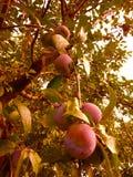 Ameixas na árvore Imagem de Stock