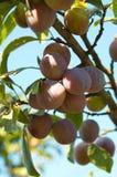 Ameixas na árvore. Fotografia de Stock Royalty Free