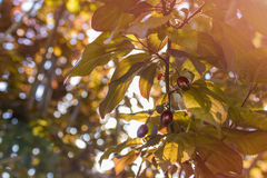 Ameixas na árvore Fotografia de Stock