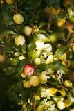 Ameixas orgânicas em uma árvore, verde Foto de Stock