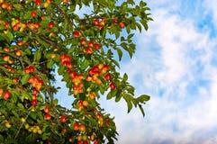 Ameixas suculentas nos ramos que olham o céu azul Fotos de Stock Royalty Free