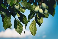 Ameixas verdes Imagem de Stock Royalty Free