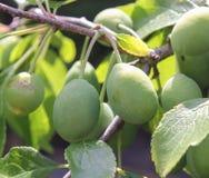 Ameixas verdes do galho Fotografia de Stock Royalty Free