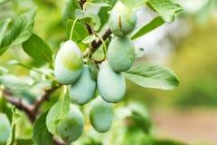 Ameixas verdes verdes no ramo de árvore no jardim imagens de stock royalty free