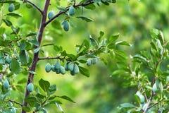 Ameixas verdes verdes no ramo de árvore no jardim imagem de stock royalty free