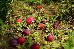 Ameixas vermelhas caídas na terra Fotografia de Stock