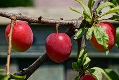 Ameixas vermelhas em um ramo fino com folhas Fotografia de Stock Royalty Free