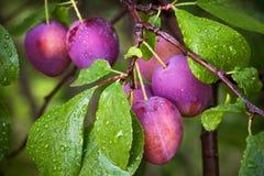 Ameixas vermelhas maduras no ramo Fotos de Stock Royalty Free
