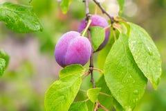 Ameixas vermelhas maduras no ramo Foto de Stock