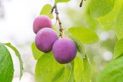 Ameixas vermelhas maduras no ramo Fotografia de Stock Royalty Free