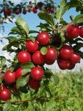 Ameixas vermelhas na árvore fotografia de stock royalty free