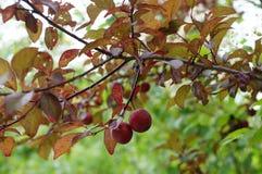 Ameixas vermelhas no ramo vermelho Fotos de Stock Royalty Free