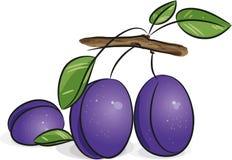Ameixas violetas Fotos de Stock Royalty Free
