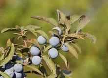 Ameixoeira-brava (Prunus Spinosa) Imagens de Stock