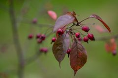 Amelanchier и красные листья стоковые изображения