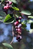 Amelanchier - ягоды Саскатуна Стоковое Изображение RF