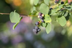 Free Amelanchier Lamarckii Ripe And Unripe Fruits On Branches, Group Of Berry-like Pome Fruits Called Serviceberry Or Juneberry Royalty Free Stock Photography - 192020007