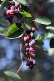 Amelanchier - saskatoon berries Royalty Free Stock Image