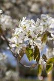 Amelanchier spicata Baum in der Blüte, in den weißen dekorativen Blumen der Felsenbirne und in den Knospen Lizenzfreies Stockbild