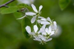 Amelanchier spicata Baum in der Blüte, in den weißen dekorativen Blumen der Felsenbirne und in den Knospen Stockbild