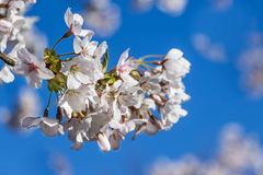Amelanchier tree Stock Images