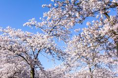 Amelanchier trees. Blossom of amelanchier trees in spring in front of a blue sky in a park stock photo