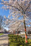 Amelanchier trees in the park Stock Photos