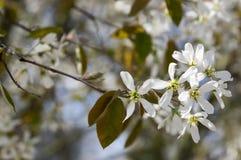 Amelanchierspicataträd i blom, blommor och knoppar för tjänste- bär vita dekorativa Royaltyfri Fotografi