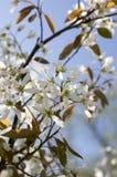 Amelanchierspicataträd i blom, blommor och knoppar för tjänste- bär vita dekorativa Royaltyfri Foto