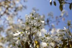 Amelanchierspicataträd i blom, blommor och knoppar för tjänste- bär vita dekorativa Royaltyfri Bild