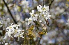 Amelanchierspicataträd i blom, blommor och knoppar för tjänste- bär vita dekorativa Arkivbild