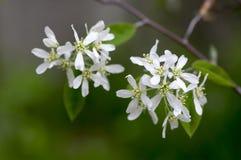 Amelanchierspicataträd i blom, blommor och knoppar för tjänste- bär vita dekorativa Arkivbilder