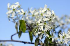 Amelanchierspicataträd i blom, blommor och knoppar för tjänste- bär vita dekorativa Royaltyfria Bilder
