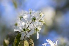 Amelanchierspicataträd i blom, blommor och knoppar för tjänste- bär vita dekorativa Arkivfoto