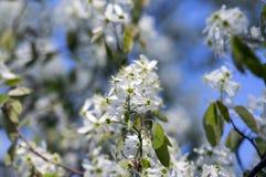 Amelanchierspicataträd i blom, blommor och knoppar för tjänste- bär vita dekorativa royaltyfria foton