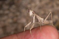 Ameles decolor mantis Stock Image