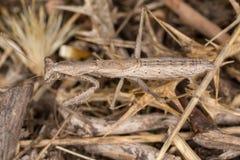 Ameles decolor mantis Stock Photo
