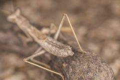 Ameles decolor mantis Stock Images