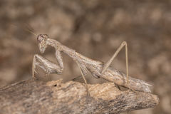 Ameles decolor mantis. A close-up portrait of a mantis royalty free stock photography