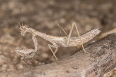 Ameles decolor mantis Royalty Free Stock Images