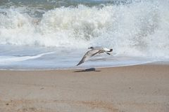 A seagull flies along the breakers of Fernandina Beach on Amelia Island, Florida. Amelia Island has a shoreline of beautiful beaches along a thirteen mile stock image