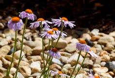 amelloides błękitny felicja marguerite Zdjęcie Royalty Free