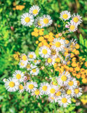 Amelloides d'aster Image stock