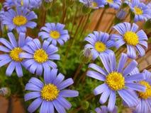 Amelloides de Felicia de la flor de la margarita azul Imágenes de archivo libres de regalías