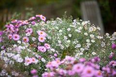 Amellus αστέρων, amellus αστέρων, η ευρωπαϊκή michaelmas-Daisy Στοκ φωτογραφίες με δικαίωμα ελεύθερης χρήσης