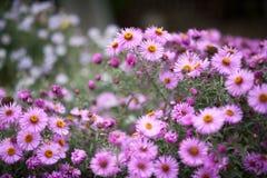 Amellus αστέρων, amellus αστέρων, η ευρωπαϊκή michaelmas-Daisy Στοκ Εικόνα