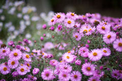Amellus dell'aster, amellus dell'aster, Michaelmas-margherita europea Immagine Stock