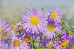 Amellus di fioritura dell'aster dei cespugli Immagine Stock Libera da Diritti
